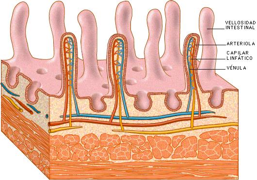 Vellosidad intestinal