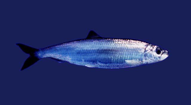 Los peces poseen unos riñones muy primitivos que recorren dorsalmente todo su cuerpo