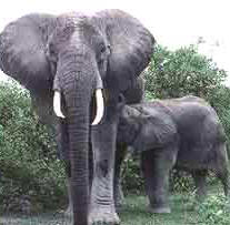 Mamífero, elefante, perteneciente al Reino Animales