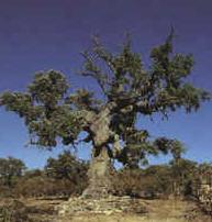 Alcornoque, perteneciente al Reino de las Plantas