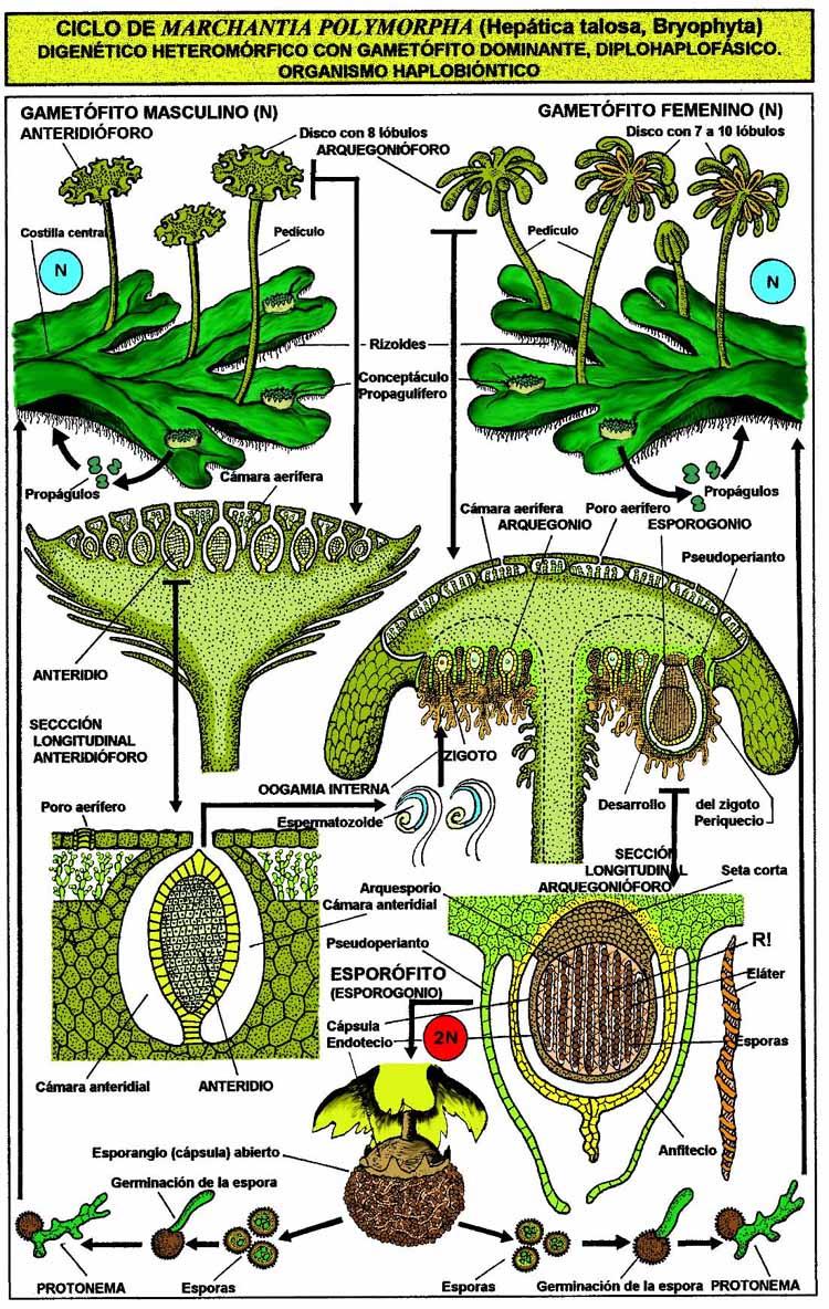 Liverwort (Anemone hepatica) Benefits & Information