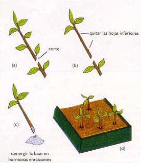 Reproduccion asexual en vegetales