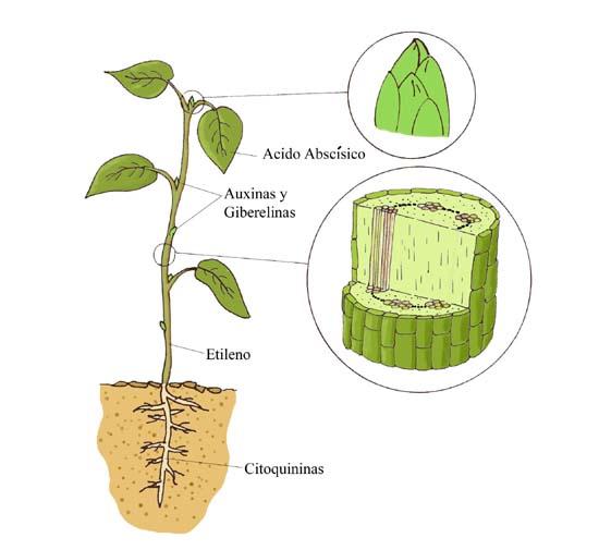 Proyecto biosfera for Hormonas en las plantas