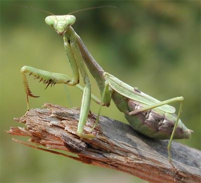 Mantis religiosa reproduccion asexual de las plantas