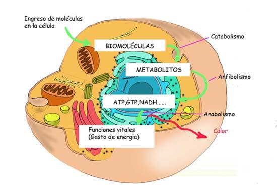 La ruta metabólica en la célula