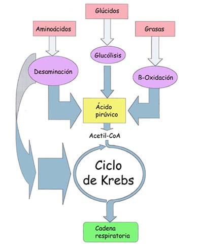 ciclos anabolicos para mujer