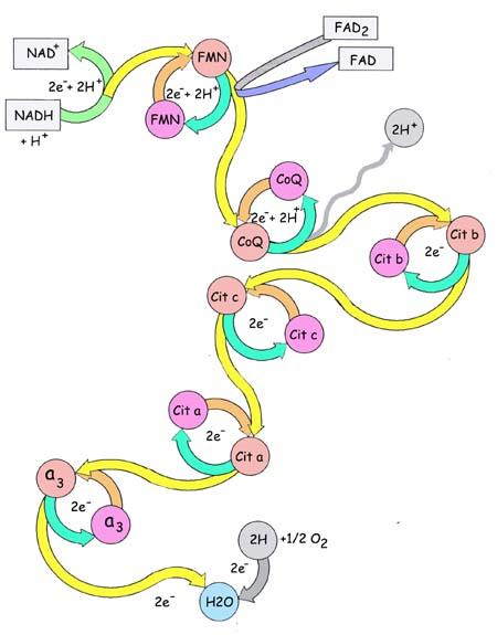 Cada par redox sólo puede recibir electrones de otro par que tenga potencial de reducción más negativo y solo puede cederlos al par que lo tenga menos negativo
