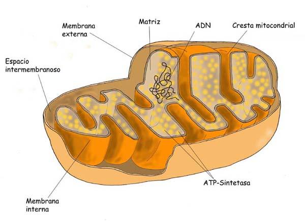 Partes De La Celula Animal