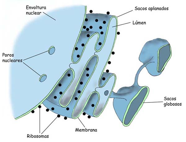celula procariota y eucariota. Cls. Procariotas, Cls.
