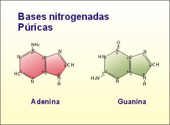 http://recursos.cnice.mec.es/biosfera/alumno/2bachillerato/biomol/imagenes/nucleico/abasenitro1.jpg
