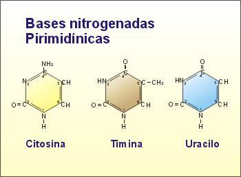 http://recursos.cnice.mec.es/biosfera/alumno/2bachillerato/biomol/imagenes/nucleico/abasesnitro2.jpg