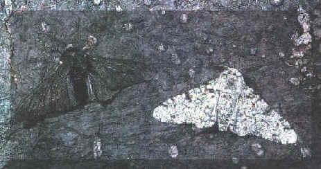 El caso de la polilla del abedul (Biston betularia) ilustra el funcionamiento de la selección natural, ya que si la corteza del árbol está limpia, mueren las polillas negras, pero si la corteza está sucia, morirán las blancas. Tomada de bioinformatica.uab.es