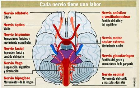 Ciencias biologicas nervios craneales for 12 paredes craneales