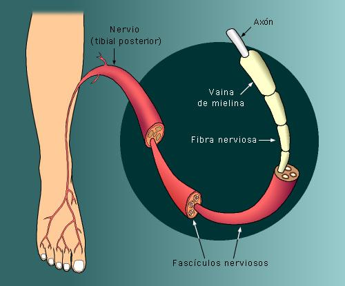 Los nervios están formados por conjuntos de fibras nerviosas. Tomada de www.mundomed.net