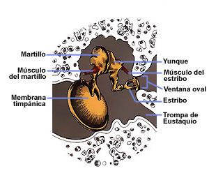 Estructura del oido medio, con el tímpano y los huesecillos. Tomada de salud.discoveryespanol.com