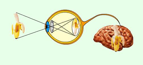 La imagen que se forma sobre la retina es invertida y de menor tamaño que la realidad; en la retina se genera un impulso eléctrico que llega a la corteza visual donde se produce la sensación de ver. Tomada de salud.discoveryespanol.com