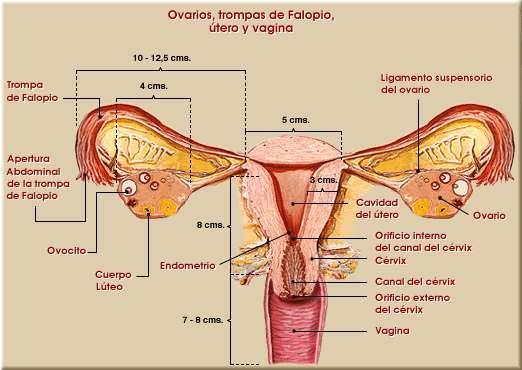 Aparato reproductor femenino. Órganos genitales internos