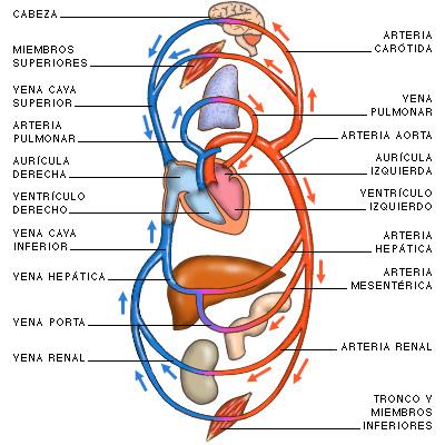 Grandes vasos sanguíneos