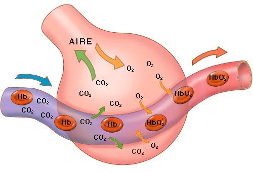 [megapost] Sistema respiratorio. Un poco mas de como respira