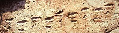 Huellas de Laetoli (Tanzania), dejadas por una pareja de A. afarensis sobre cenizas recién caídas.