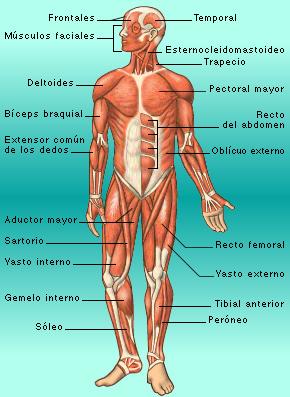 Funciones del huso muscular